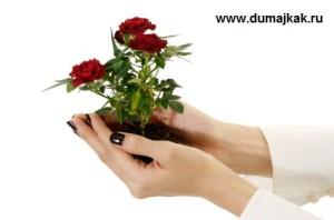 саженцы европейских роз, как посадить саженцы роз, как правильно садить розы