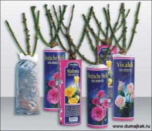 саженцы роз, как выбрать саженцы роз, саженцы европейских роз, как сохранить саженцы роз