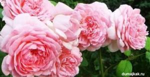 саженцы роз, европейские розы, как выбрать саженцы роз